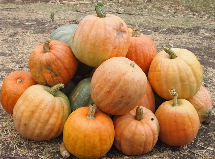 pumpkins bring the flavor of fall to Ethiopia