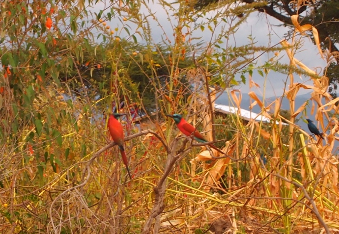 Northern Carmine Bee Eaters
