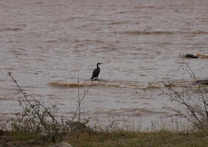 a Great Cormorant