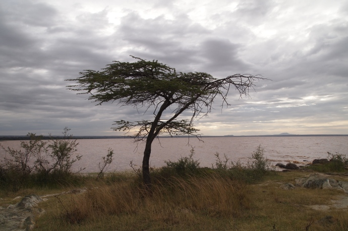 acacia tree along the lakeshore