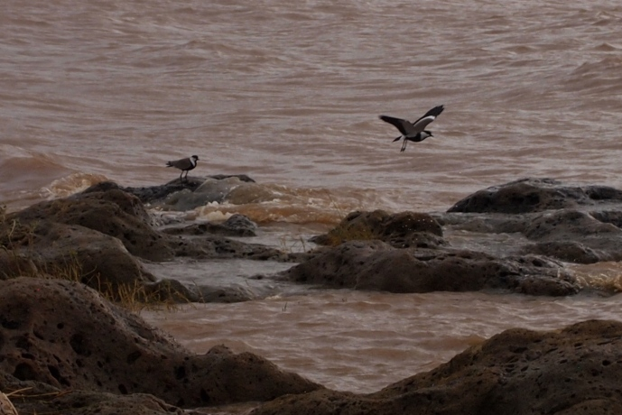 the spur winged plover takes flight