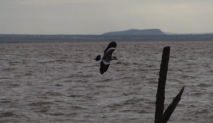 Great cormorant takes flight