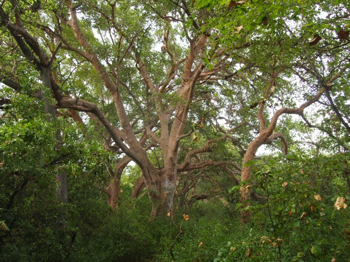 ficus tree in the forest