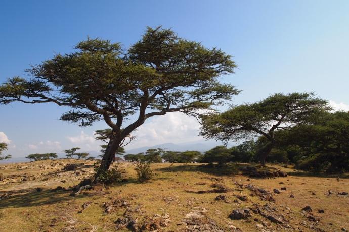 acacia trees on the landscape near the lake