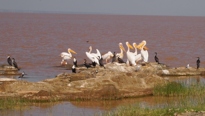 more white pelicans and cormorants