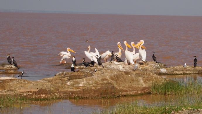 more white pelicans and cormorants