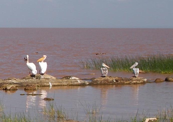 white & gray pelicans