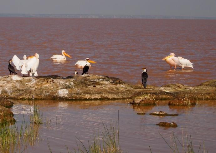 white pelicans & cormorants