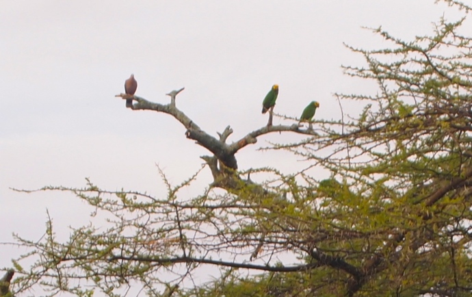 yellow-fronted parrots