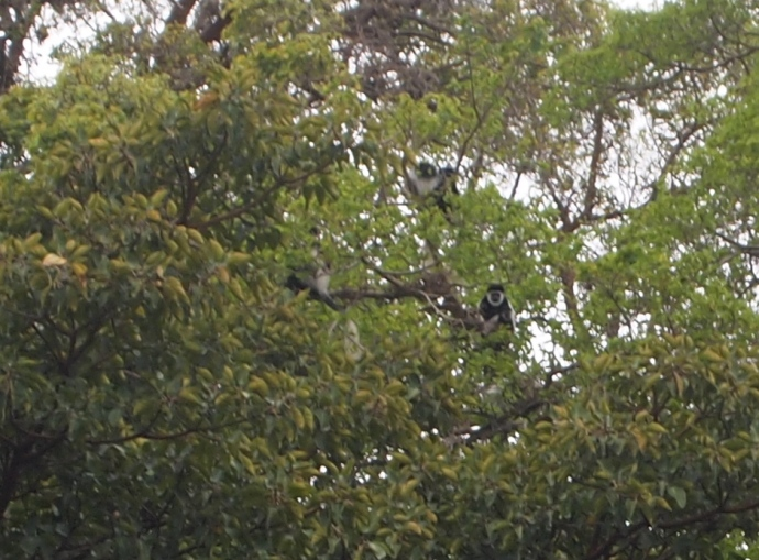 three black & white Colobus monkeys watch us from the treetops