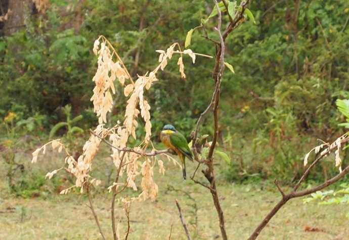 blue-breasted bee eater
