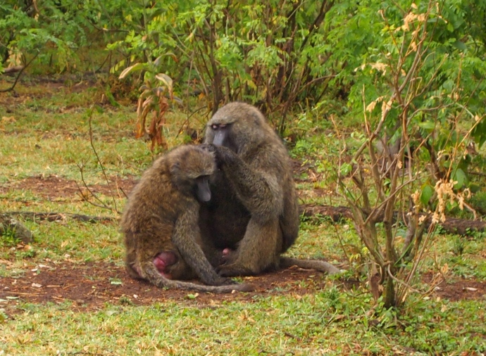Olive baboons groom each other with care