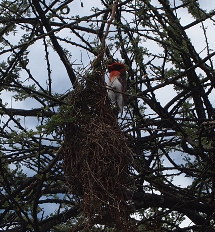 a red-headed weaver builds his nest