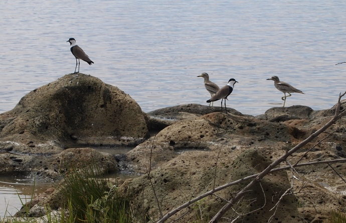 spur-winged plovers and Senegal thick knees