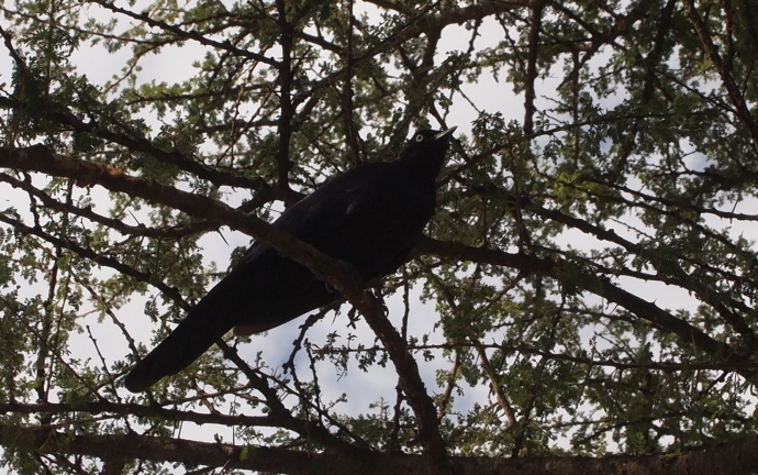 Northern Black Flycatcher or fork-tailed drongo?  Not sure... :-)