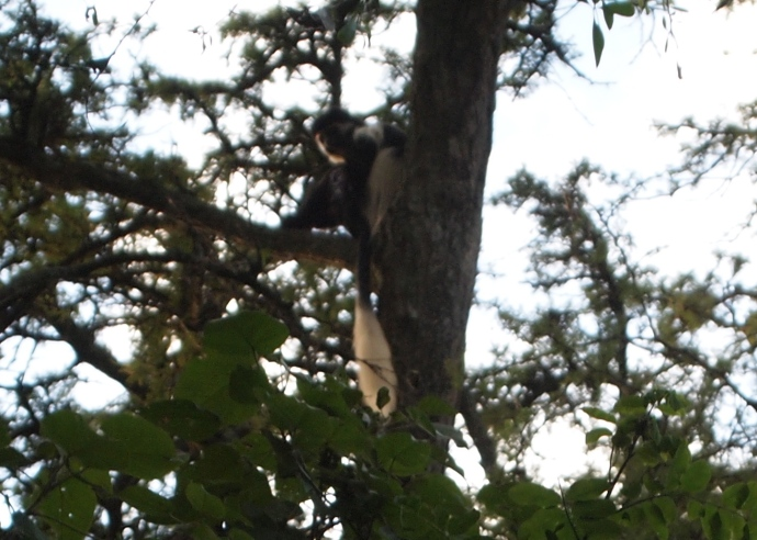 Colobus monkey in the forest